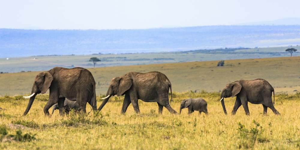 Family life of elephants, Central African Republic