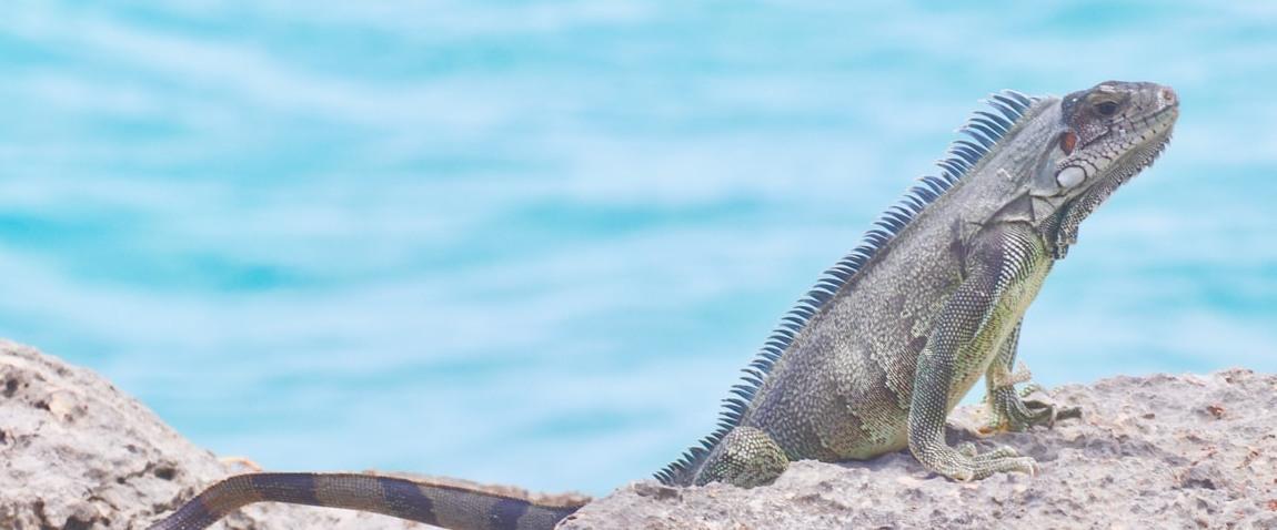 anguilla island animal