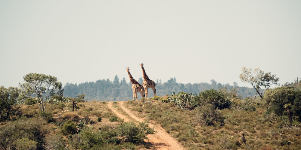 Two giraffe standing on hill