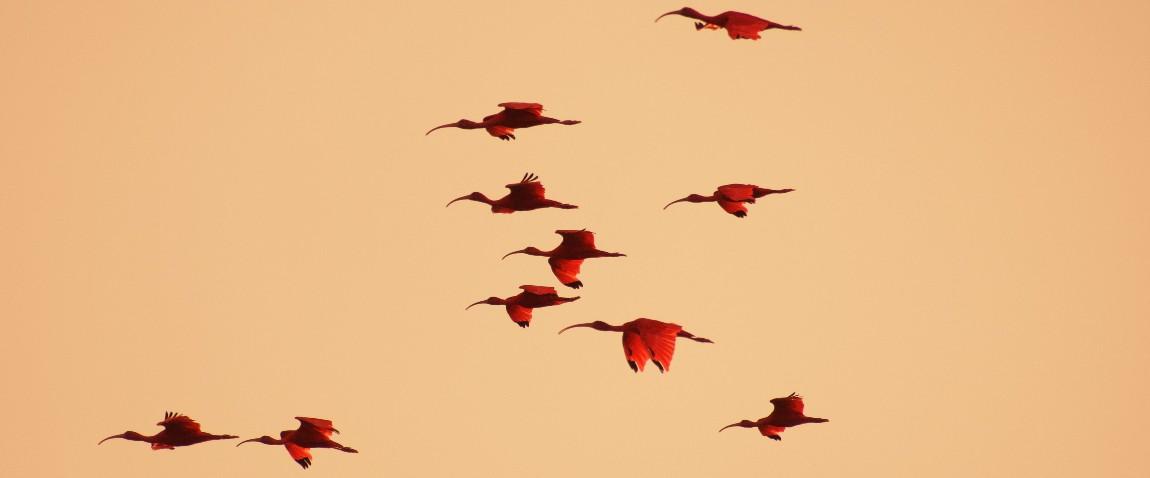 caroni birds