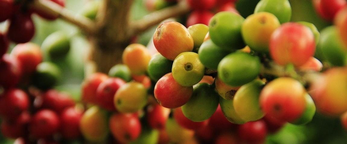 coffee grains mature
