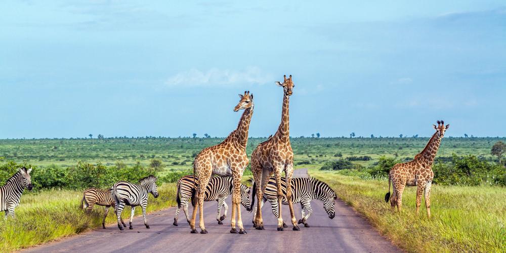 Giraffe and plains zebra in National Park