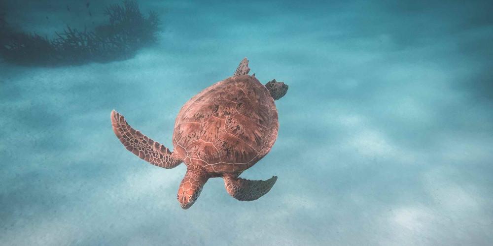Turtle, Sint Maarten