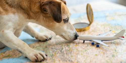 How to travel internationally with a dog?