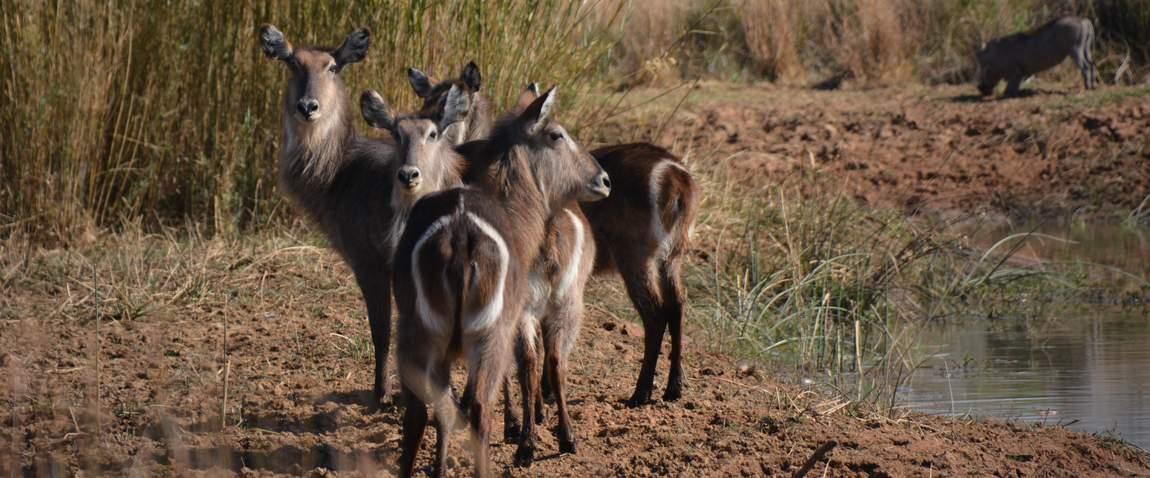 group of waterbucks