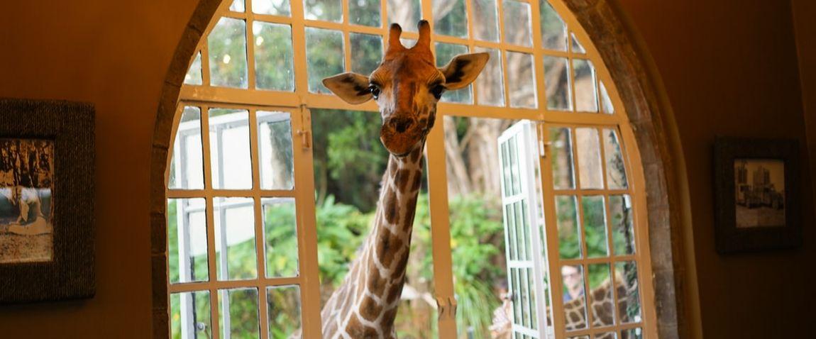 giraffe window hotel