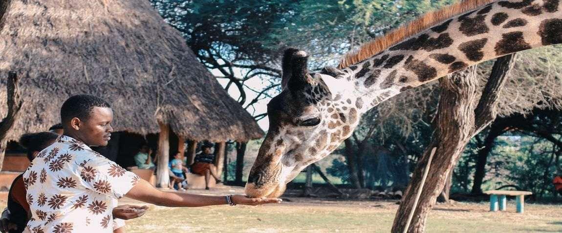 man and giraffe