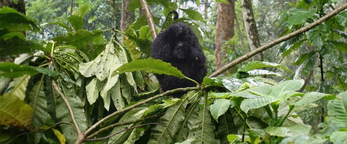 wild baby gorilla